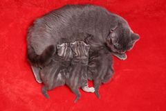 Cat breastfeeding on a red carpet Royalty Free Stock Photos