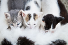 Cat breastfeeds its kittens royalty free stock image