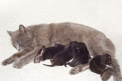 Cat breastfeeds kittens Royalty Free Stock Images