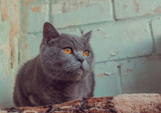 A Cat. Cat breed of the British blue Stock Photography