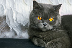 Cat breed British Blue on the table Royalty Free Stock Photography