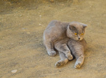 Cat breed British fold Royalty Free Stock Images