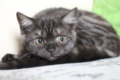 Mysterious look of a cat of breed British Stock Photo