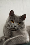 Cat breed British Shorthair Blue Royalty Free Stock Images