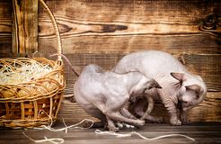 Cat breed of Canadian Sphynx Stock Images