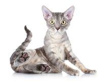 Cat breed Devon Rex. Funny cat breed Devon Rex sitting on a white background Stock Photos