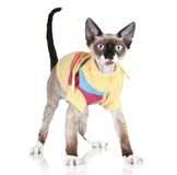 Cat breed Devon-rex in a sweater Stock Images