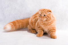 Cat breed Highland fold Royalty Free Stock Photography