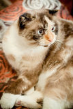 Cat breed of lop-eared close up Royalty Free Stock Photo