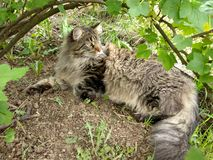 Cat breed Maine Coon in nature.  Photos of a cat in the flowers of currants and in the grass.  Very big cat.