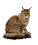 Cat breed Maine Coon sitting imperiously. Royalty Free Stock Image