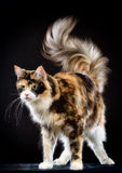 Cat. Breed - the Maine Coon. Studio photography cat the breed - the Maine Coon, on a black background Royalty Free Stock Images