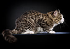 Cat. Breed - the Maine Coon Stock Photo