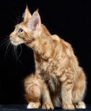 Cat. Breed - the Maine Coon Stock Images