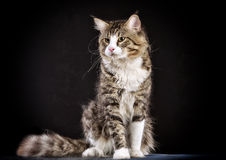Cat. Breed - the Maine Coon Stock Photography