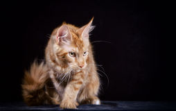 Cat. Breed - the Maine Coon Royalty Free Stock Photography