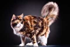 Cat. Breed - the Maine Coon royalty free stock photos