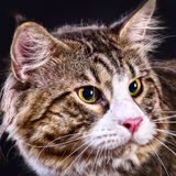 Cat. Breed - the Maine Coon Royalty Free Stock Photo