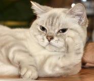 Cat breed RagaMuffin Royalty Free Stock Photo