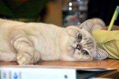 Cat breed RagaMuffin Stock Image