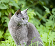 Cat breed Russian Blue Royalty Free Stock Photography