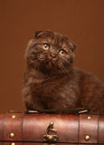 Cat of breed Scottish fold. Cat of breed Scottish fold on a brown background Royalty Free Stock Photo