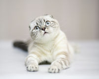 Cat of breed the Scottish fold cat. Kitten with blue eyes. A kitten of breed the Scottish fold cat Stock Photo
