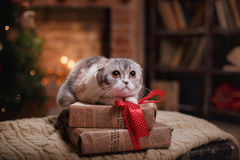 Cat breed Scottish Fold, Christmas and New Year. Cat breed Scottish Fold striped gray portrait Christmas and New Year Royalty Free Stock Photos