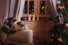 Cat breed Scottish Fold, Christmas and New Year Royalty Free Stock Photo