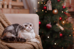 Cat breed Scottish Fold, Christmas and New Year Stock Images