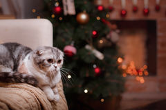 Cat breed Scottish Fold, Christmas and New Year Royalty Free Stock Photos