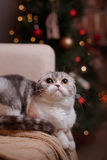 Cat breed Scottish Fold, Christmas and New Year Royalty Free Stock Images