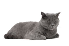 Cat breed Scottish-Straight (age 1 year 3 months) sleeping on a Stock Image