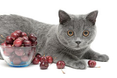 Cat (breed Scottish Straight) and cherry on a white background Stock Photos