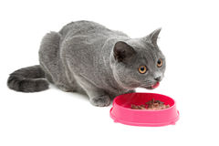 Cat (breed Scottish Straight) eating food from a bowl on a white Royalty Free Stock Image