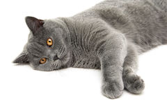 Cat breed Scottish Straight lies on a white background Royalty Free Stock Photography