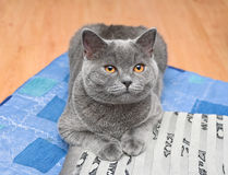 Cat breed Scottish straight lying on the pillow Royalty Free Stock Images