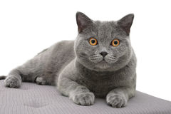 Cat breed Scottish straight lying on the pillow. white backgroun Royalty Free Stock Photo