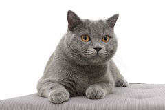 Cat breed Scottish straight lying on the pillow Royalty Free Stock Photos