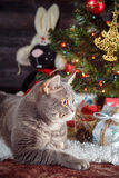 Cat breed scottish-Straight resting on the white carpet at the Christmas tree. ! Stock Image