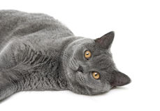 Cat breed scottish-straight on a white background closeup Royalty Free Stock Images