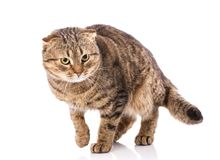 Cat without breed. A simple gray cat royalty free stock image