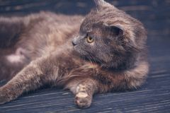 Cat without breed. A simple gray cat stock image