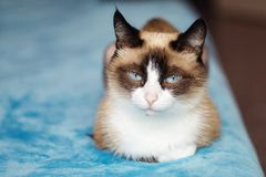 Free Cat Breed Snowshoe Sitting On Blue Background. Selective Focus , Close Up Royalty Free Stock Image - 159862266