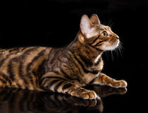 Cat breed toyger on black background Stock Photos