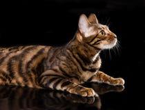 Cat breed toyger on black background Stock Photos