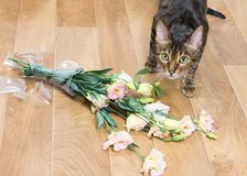 Cat breed toyger dropped and broken glass vase of flowers. Concept of damage from pets stock photography