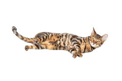 Cat breed toyger isolated on white background. Cat breed toyger lying on white background, isolated. Toy tiger stock images