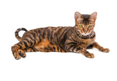 Cat breed Toyger isolated on white background. Small toy tiger royalty free stock photo
