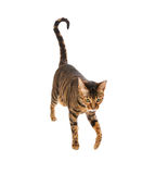 Cat breed Toyger isolated on white. Cat breed Toyger isolated on white background. Small toy tiger stock images